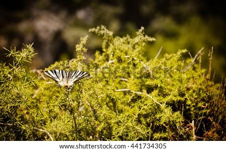 Beautiful butterfly. Samos island, Greece. - stock photo