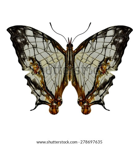 Beautiful butterfly Straight line map upper wing profile isolated on white background - stock photo