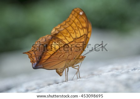 Beautiful butterfly , the Scarce Tawny Rajah