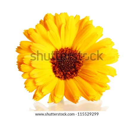 beautiful calendula flower, isolated on white