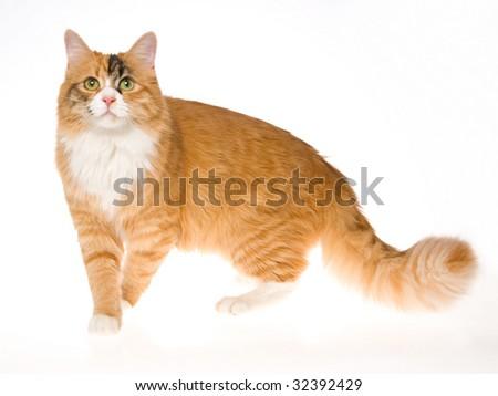 Beautiful calico cat on white background - stock photo