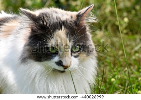 Beautiful calico cat playing outside