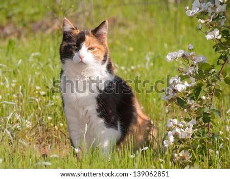 Beautiful calico cat sitting in grass next to wild blackberries in full bloom - stock photo