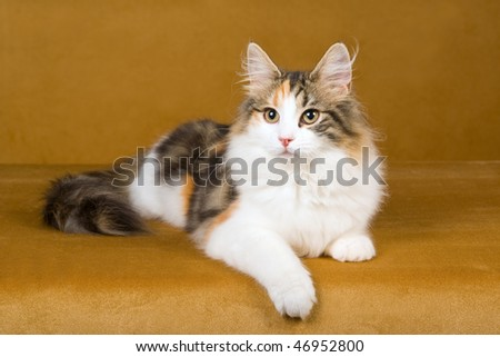 Beautiful Calico Norwegian Forest Cat on gold background - stock photo
