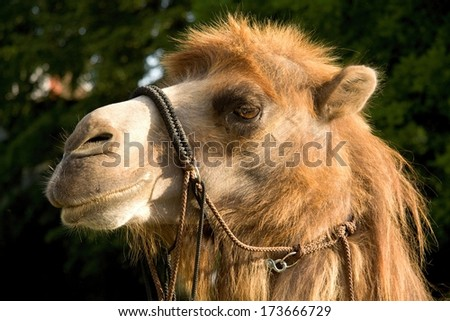beautiful camel in the zoo - stock photo