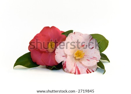 beautiful camellia blossoms, isolated on white - stock photo