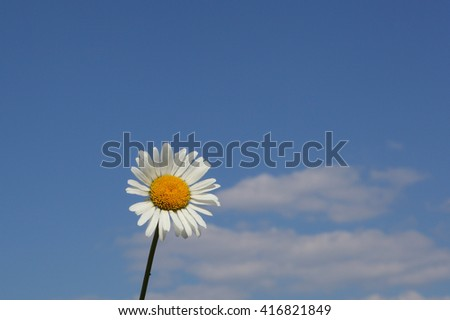 beautiful camomile flower over the blue sky background - stock photo