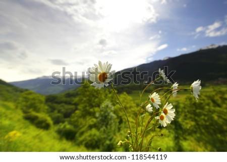Beautiful camomile in Alps swiss - stock photo