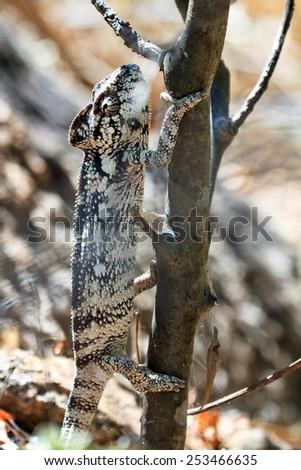 Beautiful camouflaged chameleon in Madagascar, presumably the Oustalet's or Malagasy giant chameleon (Furcifer oustaleti) - stock photo