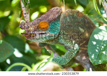 Beautiful camouflaged chameleon in Madagascar, presumably the Parsons chameleon (Calumma parsonii), striking at an insect - stock photo