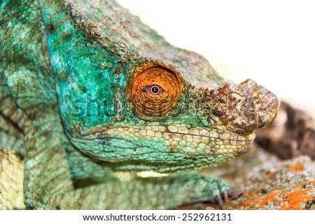 Beautiful camouflaged chameleon in Madagascar, presumably the Parsons chameleon (Calumma parsonii)  - stock photo