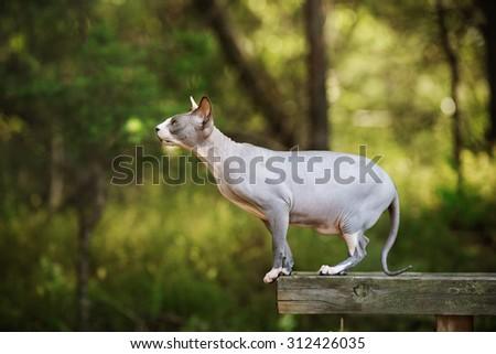 beautiful canadian sphynx cat outdoors - stock photo