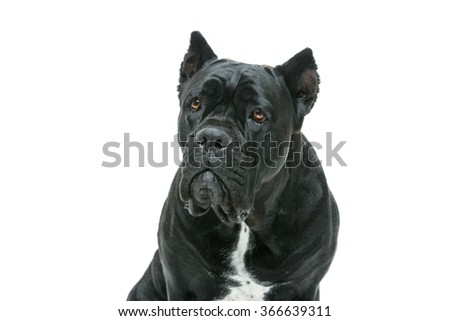 Beautiful cane corso dog - stock photo