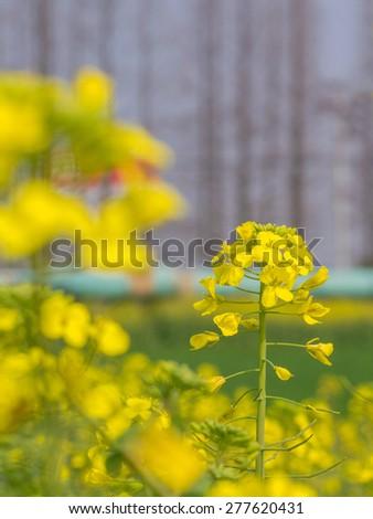 Beautiful canola flowers - stock photo