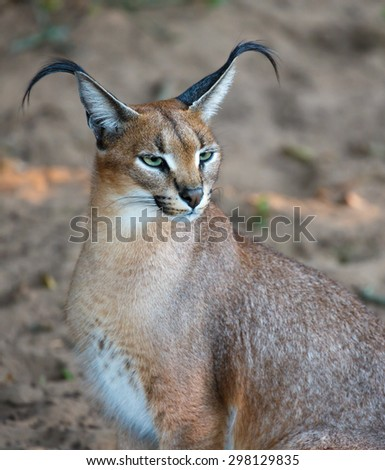 Beautiful caracal or African lynx with long tufted ears - stock photo