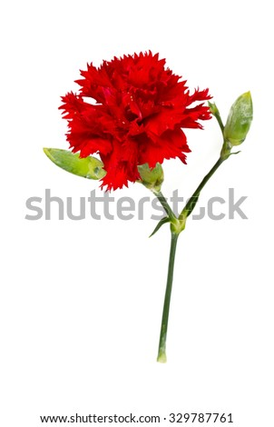beautiful carnation flower isolated on white
