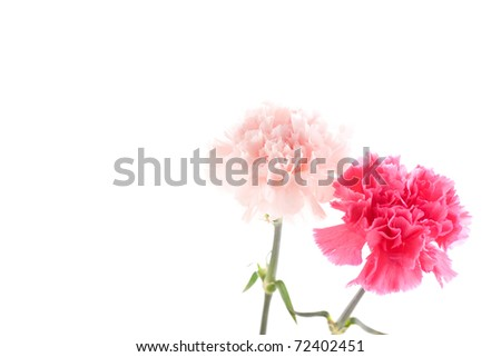 Beautiful carnations on a white background