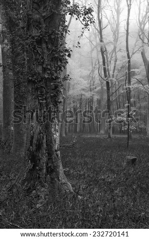 Beautiful carpet of bluebell flowers in misty Spring forest landscape  black and white - stock photo