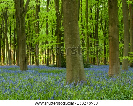 Beautiful carpet of English bluebells in beech woods, Hampshire, UK