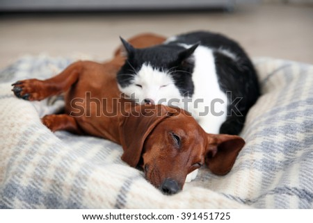 Beautiful cat and dachshund dog on plaid - stock photo