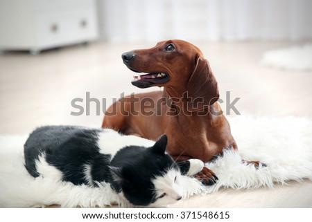 Beautiful cat and dachshund dog on rug, indoor - stock photo
