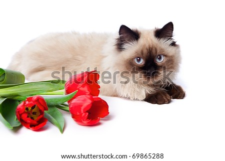 beautiful cat and red tulips on white background - stock photo