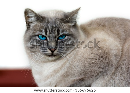 Beautiful cat close up with blue eyes and brown fur - stock photo