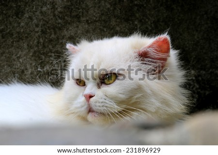 Beautiful cat for trade and feed, Persian cat is to lie down on the block stone for relaxation - stock photo