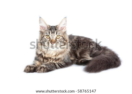 Beautiful cat on white background. It is isolated. - stock photo