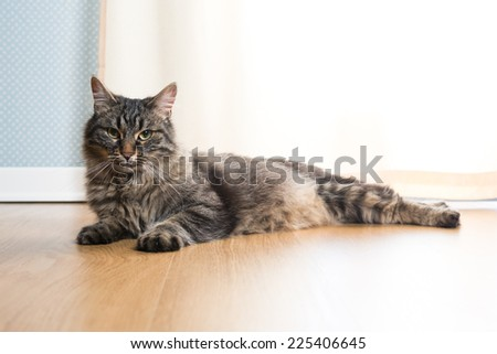 Beautiful cat relaxing and lying on parquet next to a window.