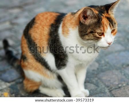 Beautiful cat sitting on the street paving - stock photo