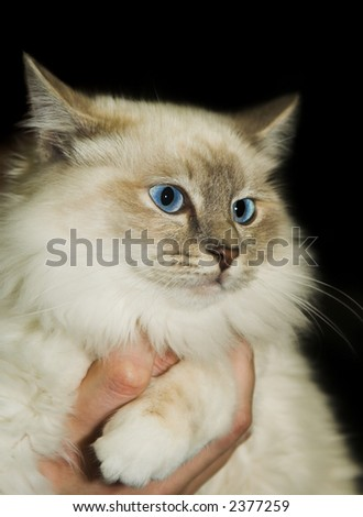 Beautiful cat with gorgeous blue eyes