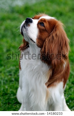 beautiful Cavalier King Charles Spaniel  dog posing at a dog show