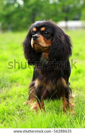beautiful Cavalier King Charles Spaniel dog posing at a dog show - stock photo