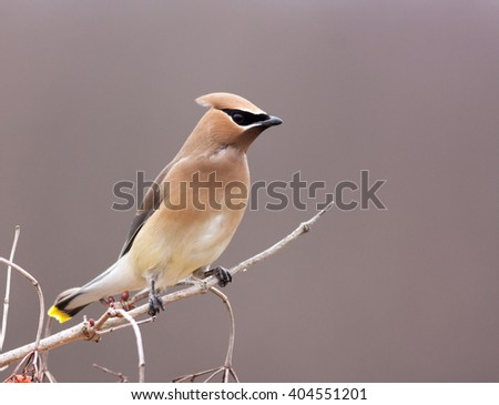 Beautiful Cedar Waxwing male perched on white branch looking right, cropped - stock photo