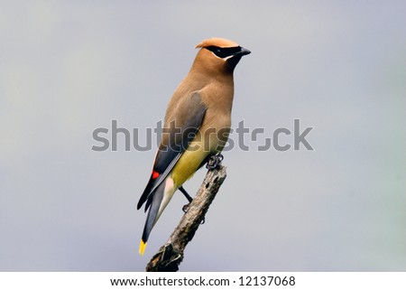 Beautiful Cedar Waxwing on Perch - stock photo