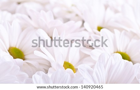 Beautiful chamomile flowers in close-up as background
