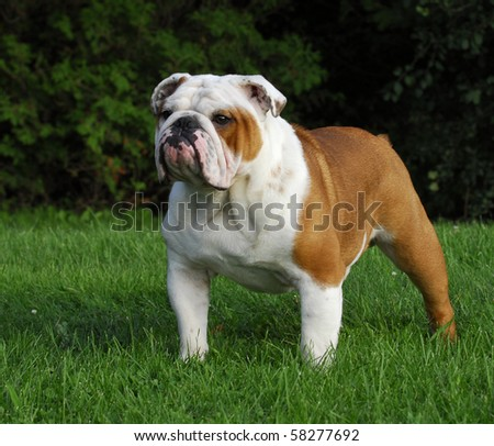 beautiful champion male english bulldog standing in the grass - stock photo