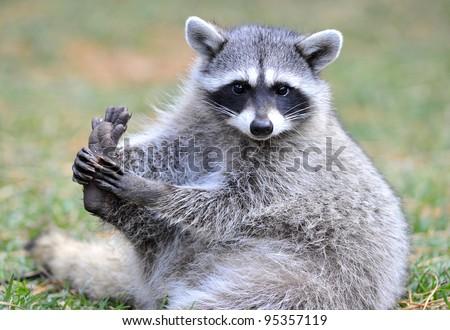 beautiful cheeky north american raccoon, yellowstone national park, idaho / wyoming, united states. masked bandit sneaky mammal  - stock photo
