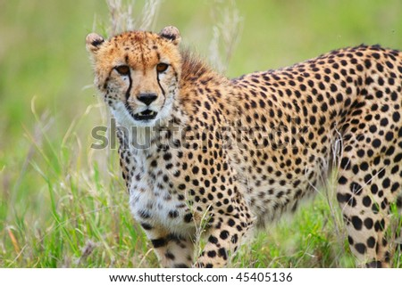 Beautiful cheetah in Serengeti national park, Tanzania