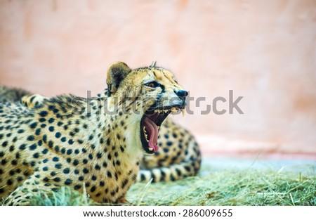 beautiful cheetah Very closeup of cheetah. Cheetah head and teeth. Angry cheetah. - stock photo