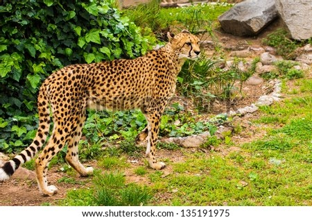 Beautiful cheetah walking outdoors - stock photo