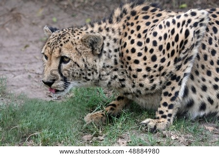 Beautiful cheetah wild cat in a crouched position