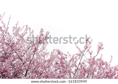 Beautiful cherry blossom - stock photo