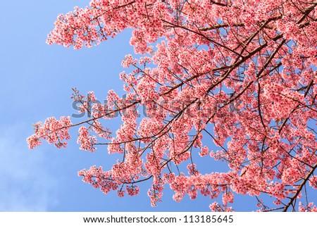 Beautiful cherry blossom, Chiang Mai, Thailand - stock photo