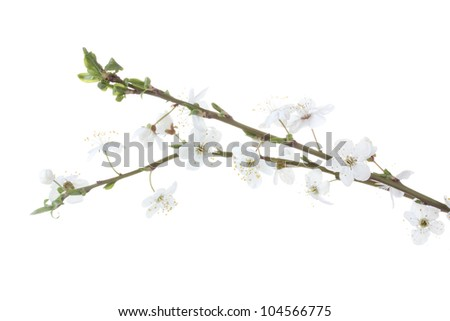 beautiful cherry blossom isolated on white