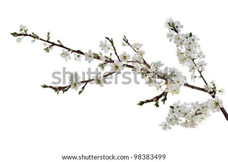 Beautiful Cherry blossom isolated on white background - stock photo