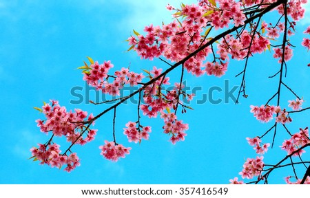 Beautiful cherry blossom,pink flower in blue background