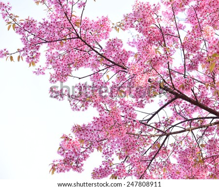 Beautiful Cherry blossom , pink sakura flower - stock photo
