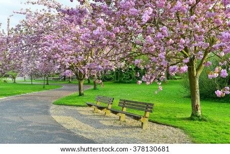 Beautiful Cherry Blossom Trees in a Peaceful Park in Spring - stock photo